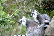Los lémures,